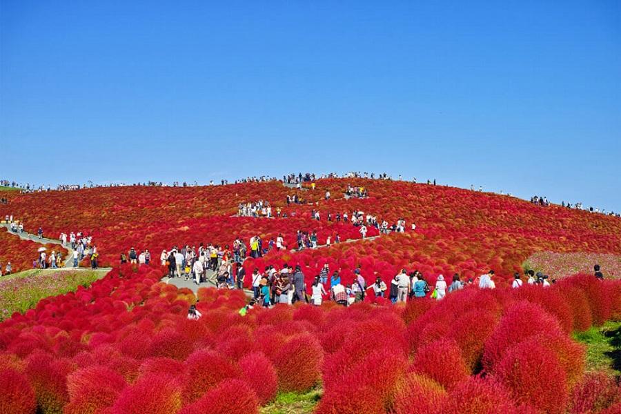 Du khách xem thực vật theo mùa tại Công viên ven biển Hitachi