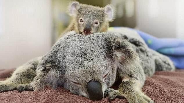 gấu túi Koala dễ thương