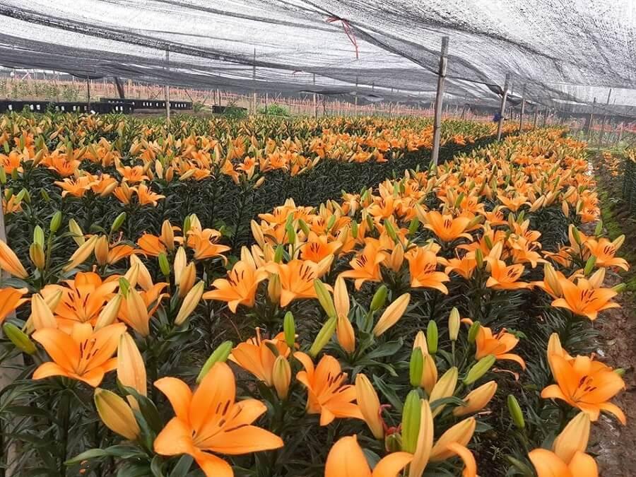 Làng Hoa Tây Tựu tràn ngập màu hoa