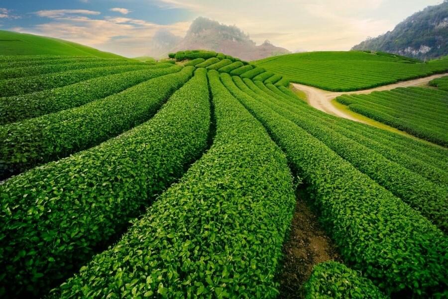 du lịch Mộc Châu không thể quên đến với những đồi trà rộng xanh mướt