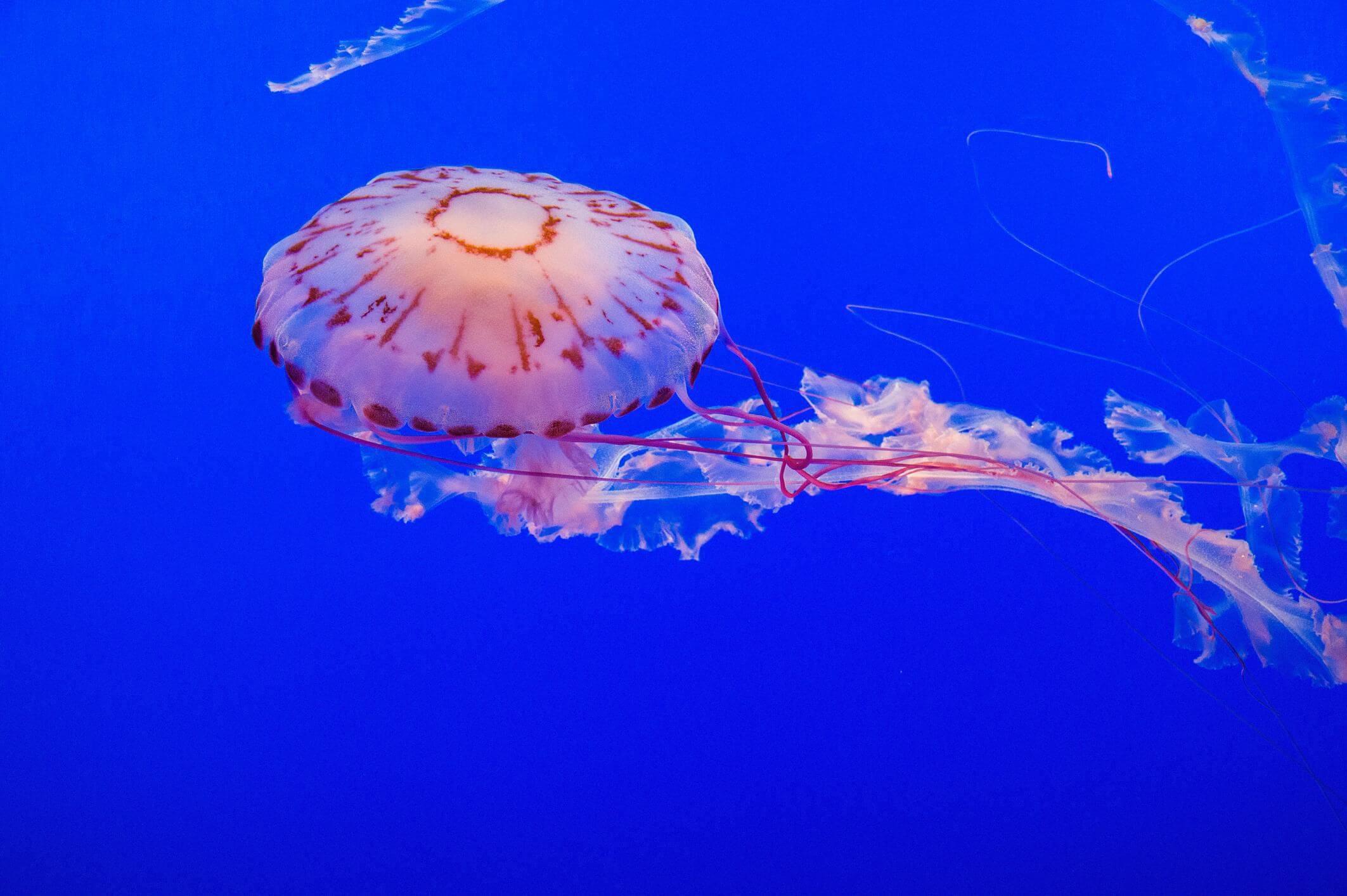 Loài sứa hộp cực độc
