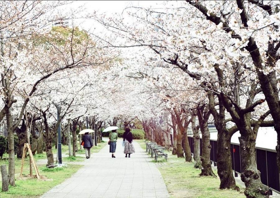 đến vườn nishinomaru ngắm hoa anh đào mỗi dịp hoa nở đẹp ngất ngây khi du lịch Nhật Bản