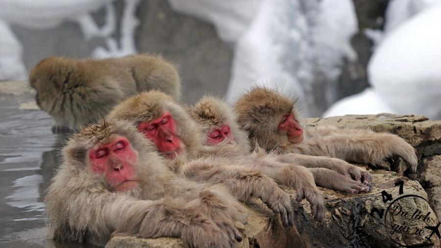 Đàn khỉ ngâm mình tránh cái lạnh mùa đông tại hồ nước nóng Jigokudani Nhật Bản Du Lịch Nhật Bản Mùa Nào Đẹp Nhất, Du Lịch Nhật Bản, Tour Du Lịch Nhật Bản, Du Lịch Nhật Bản Đi Đâu, Ẩm Thực Nhật Bản, Văn Hóa Nhật Bản