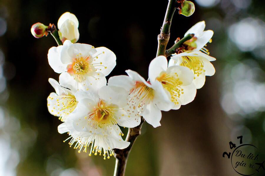 Hoa Mận trắng khoe sắc mỗi mùa xuân sang Du Lịch Nhật Bản Mùa Nào Đẹp Nhất, Du Lịch Nhật Bản, Tour Du Lịch Nhật Bản, Du Lịch Nhật Bản Đi Đâu, Ẩm Thực Nhật Bản, Văn Hóa Nhật Bản