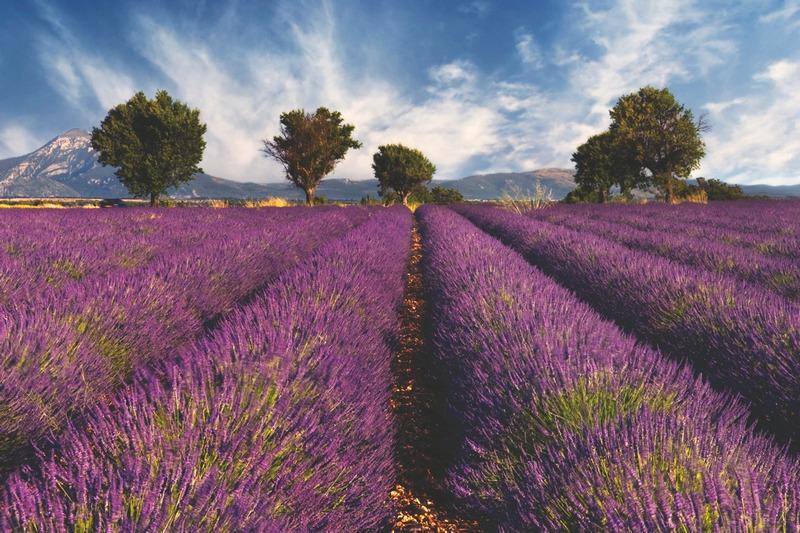 Cánh đồng Lavender đầy màu sắc là điểm check in cho nhiều bạn trẻ