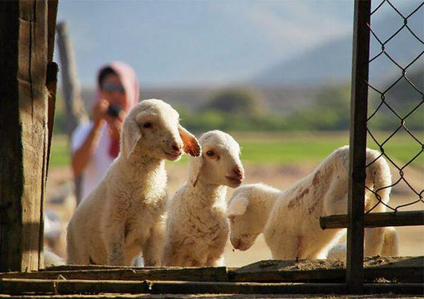 Những chú cừu nhỏ nhắn đáng yêu làm xao xuyến con tim những du khách đến đây.